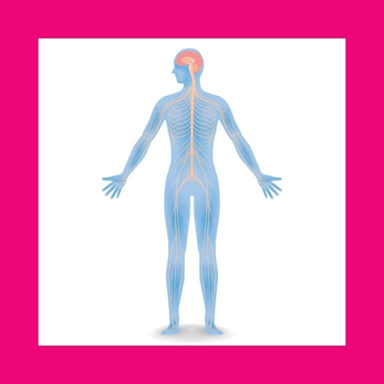The anatomy on the nervous system with a pink border